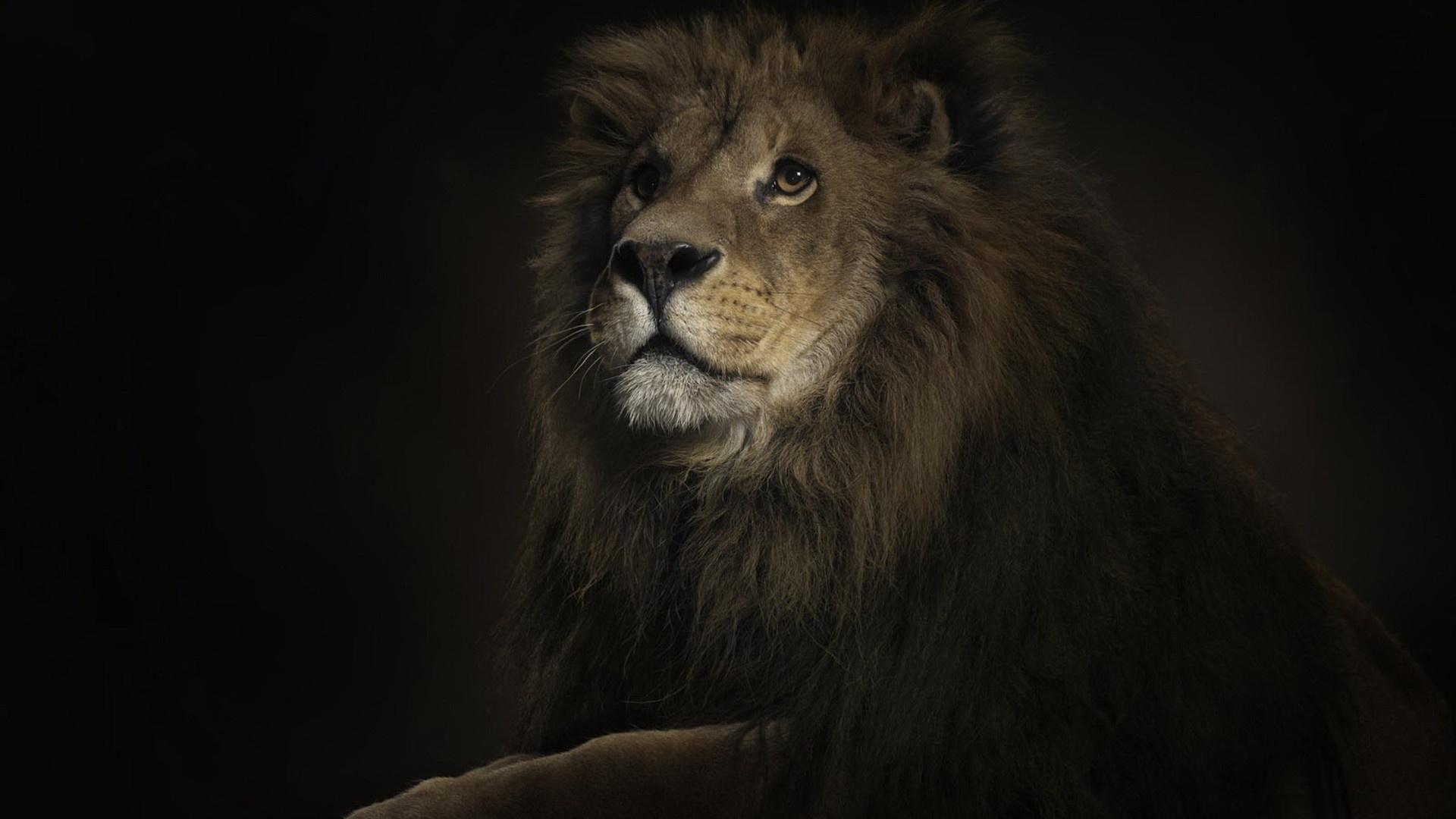 Portrait of a lion lions wallpapers pinterest portrait of a lion voltagebd Gallery