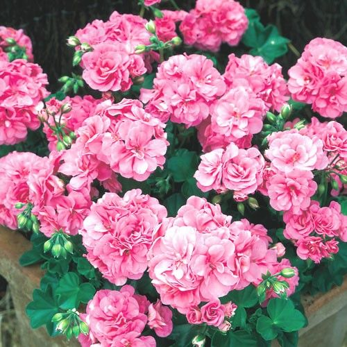Types Of Geraniums: Ivy Geraniums, Geraniums, Pink Geranium