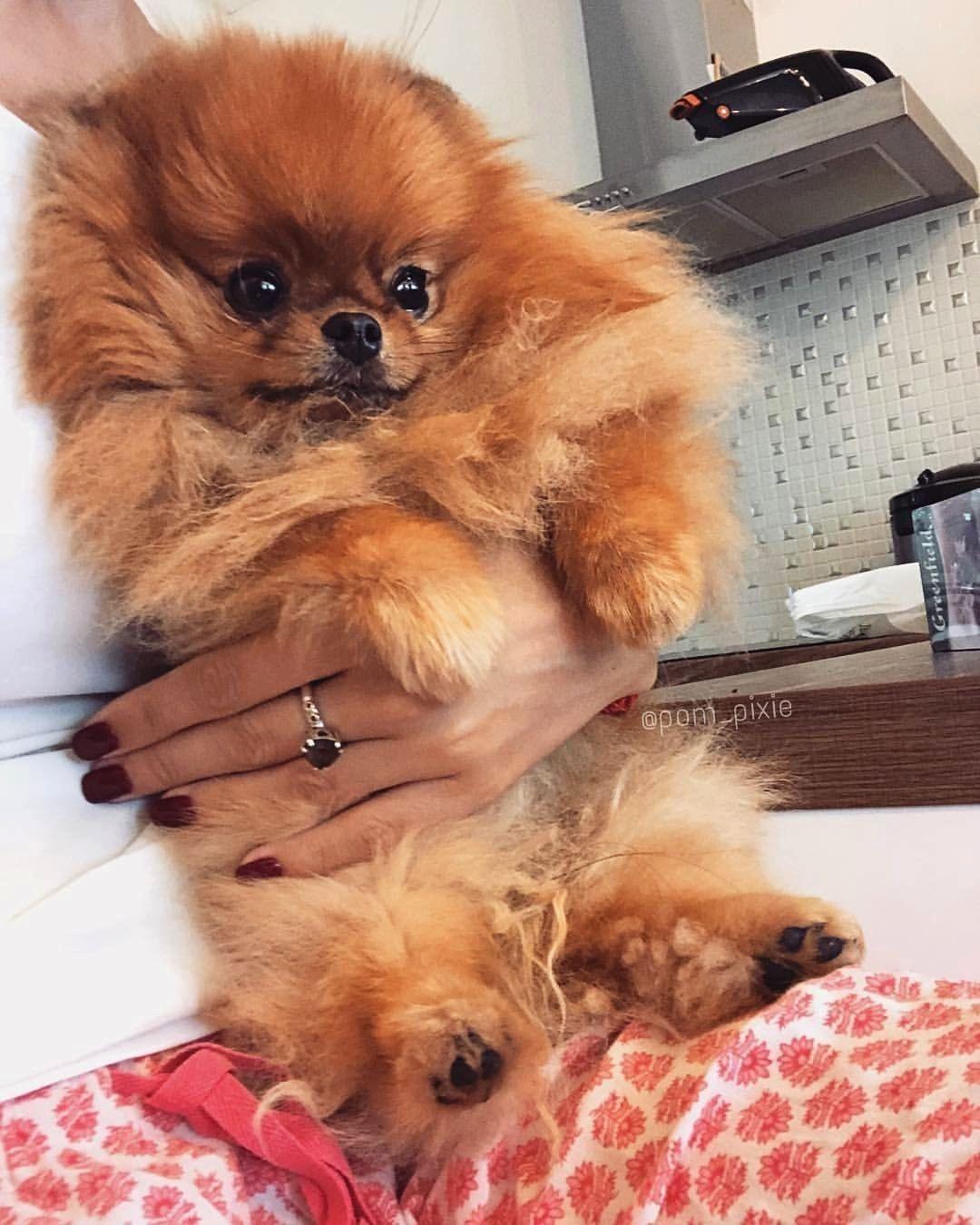 Pin By Susan Bateman On Pomeranians Pomeranian Dog Pomeranian Dogs