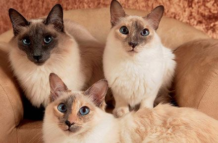 The Balinese Cat Balinese Cat Siamese Cats Blue Point Kittens