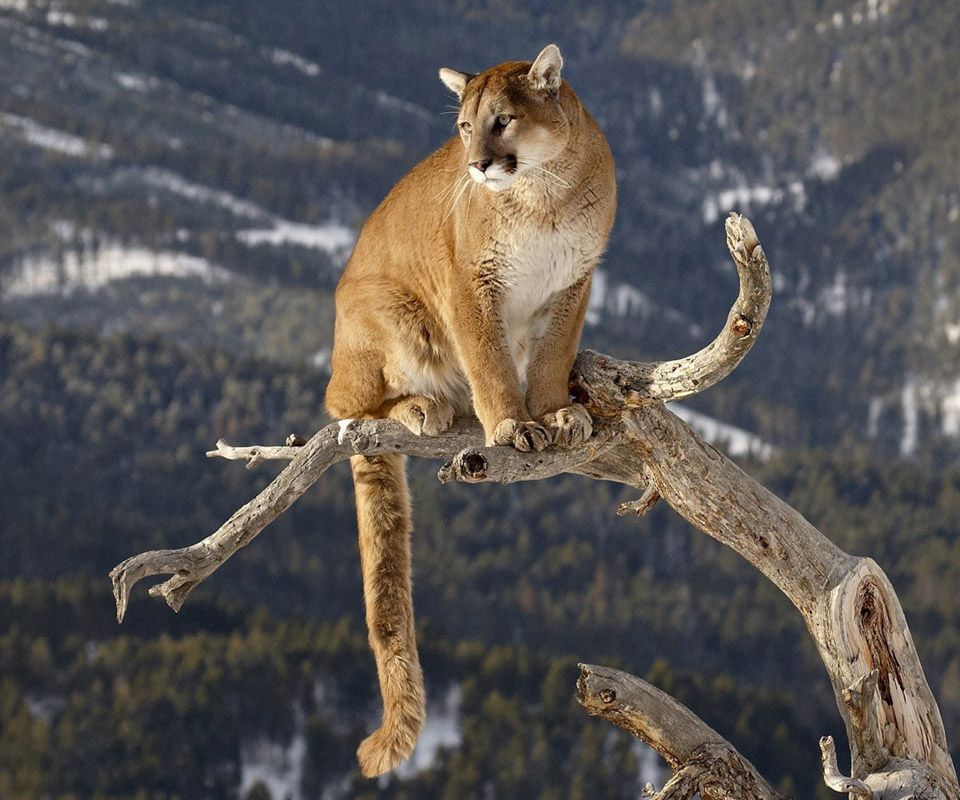Mountain Lions Caught On Camera In San Francisco Bay Area Mountain Lion Animals Animals Beautiful