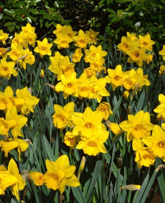 Eight Weeks Of Daffodils Deer Resistant Perennials Daffodil Bulbs Fall Plants