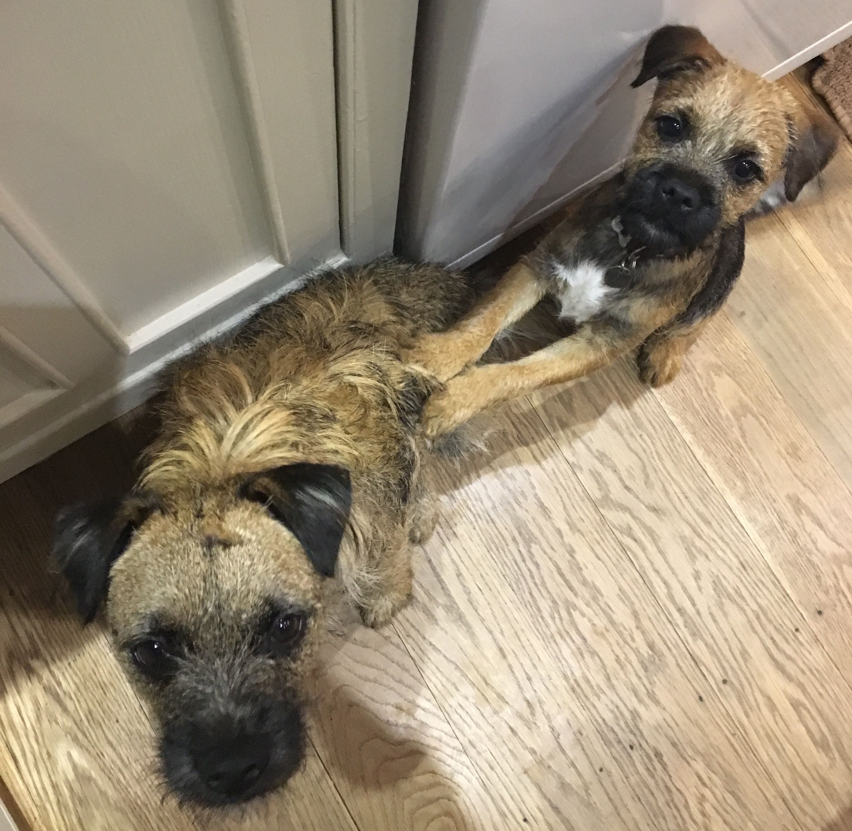 We Want Cheese Border Terrier Brown Dog