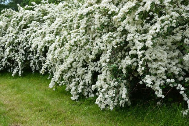 Say i do to trimming bridal wreath other spring flowering shrubs say i do to trimming bridal wreath other spring flowering shrubs mightylinksfo