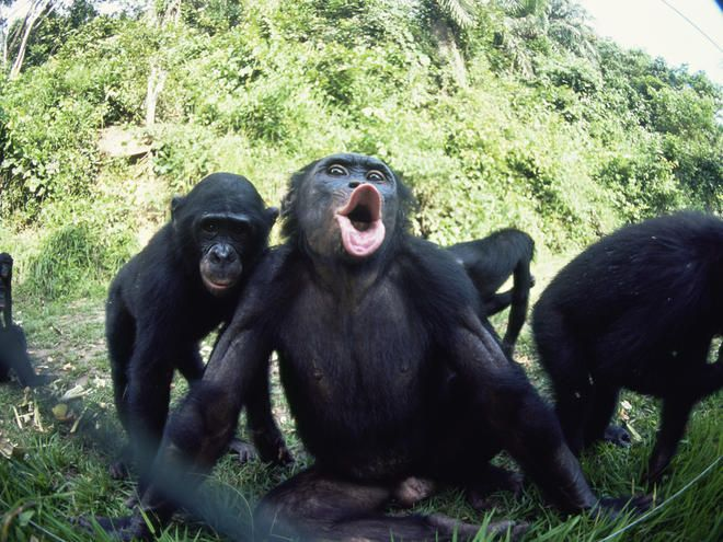 The Bonobo Formerly Called Pygmy Chimpanzee And Less Often Dwarf Is An Endangered Great Ape Along With Common