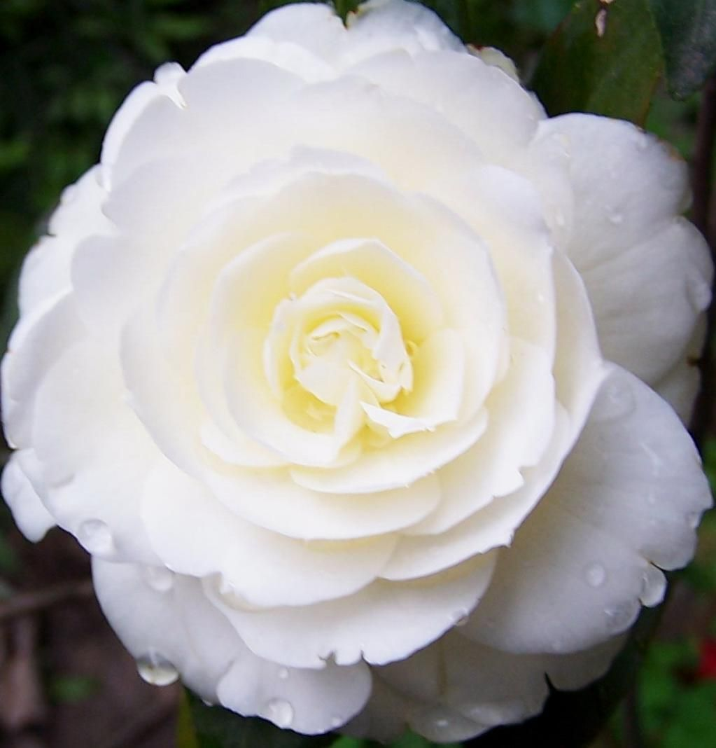 White Camellia Flora And Fauna Pinterest Camellia Flowers And