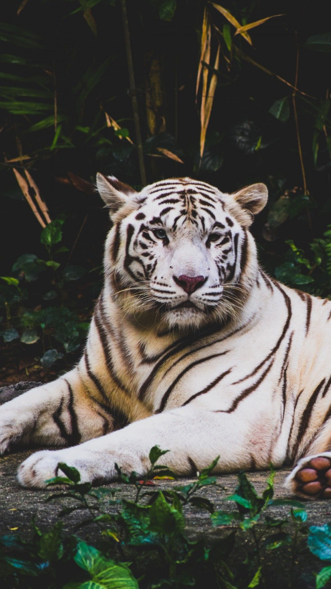 Black And White Tiger Wallpaper Iphone Tiger Wallpaper Iphone Tiger Wallpaper Animals