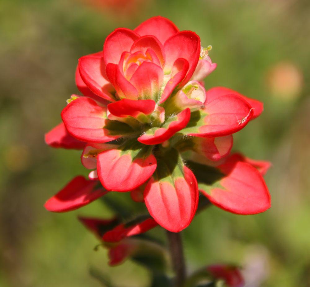 Indian paintbrush or castilleja also known as prairie