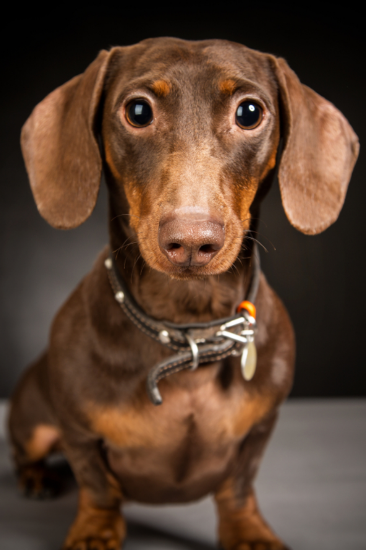 Brown Short Haired Dachshund Looking At The Camera Against A Dark Background Studio Shooting Dogs Portr Dachshund Puppy Miniature Dachshund Dachshund Lovers