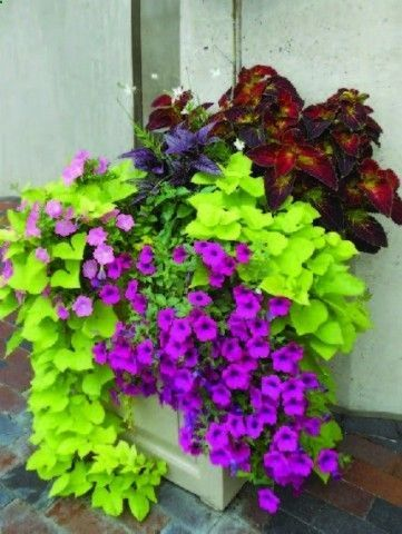 sweet potato vine coleus and wave petunias gardening. Black Bedroom Furniture Sets. Home Design Ideas