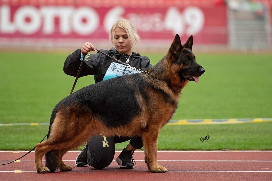 Bszs2019 V11 Kik Vom Crveni Mayestoso German Shepherd German Shepherd Dogs Shepherd Dog