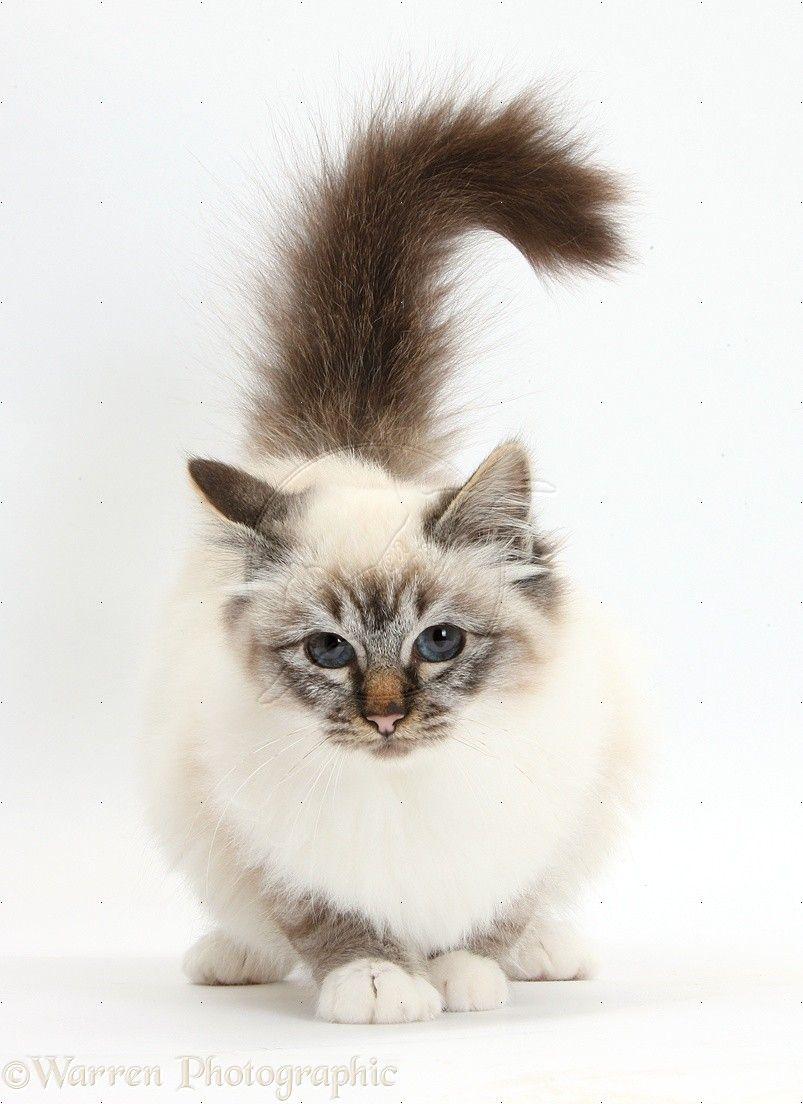 Sweet Cat Orange Tabby Cats Birman Cat Beautiful Cats