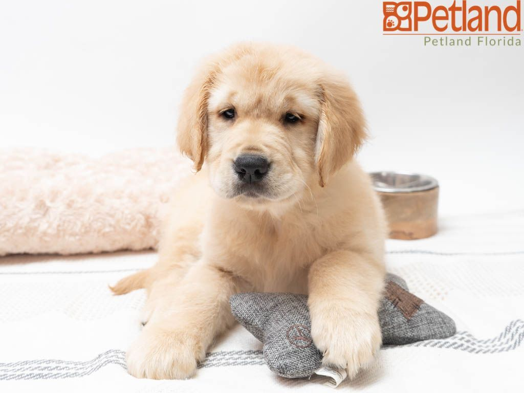 Petland Florida Has Golden Retriever Puppies For Sale Check Out All Our Available Puppies Goldenretriever Petlandk Puppy Friends Puppies Golden Retriever