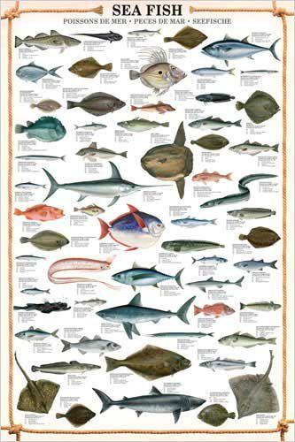 Sea fish wall chart 59 saltwater species poster for Saltwater fish representative species