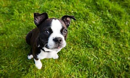 boston-terrier | Best apartment dogs, Small dog breeds ...