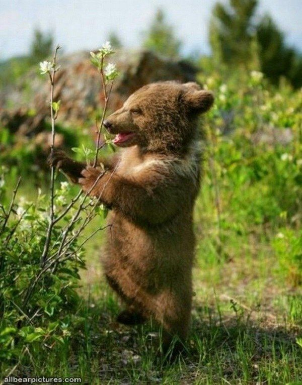 30 Bear Pictures Guaranteed to Make You Smile [PICS] #bears