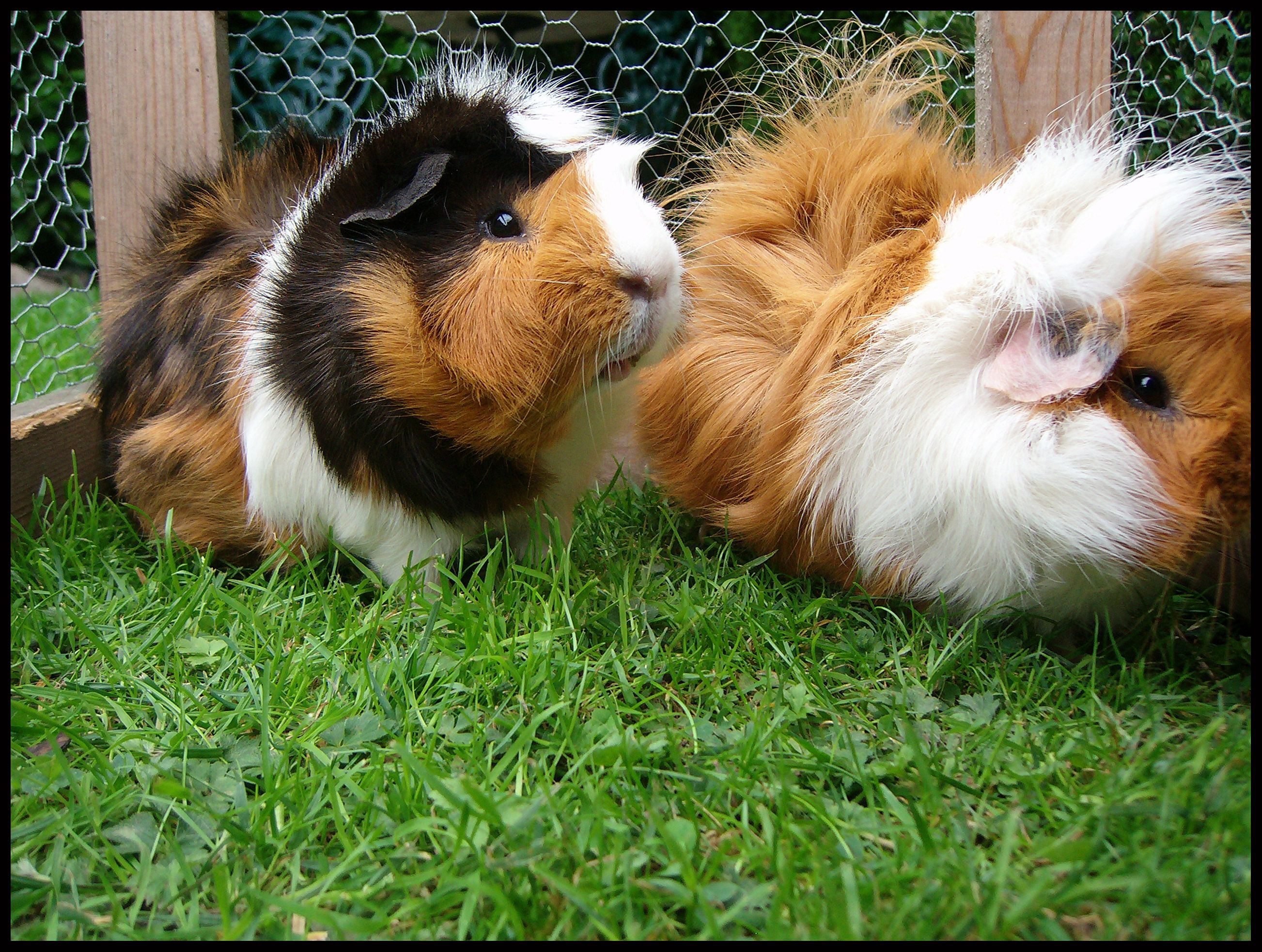 long haired guinea pigs on the grass