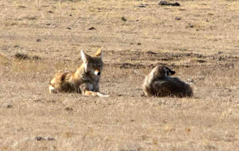 Competition and cooperation aren't mutually exclusive. Just ask a coyote or a badger.