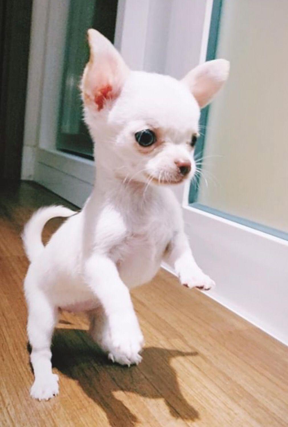 Chihuahua Dog Chiwawa Information