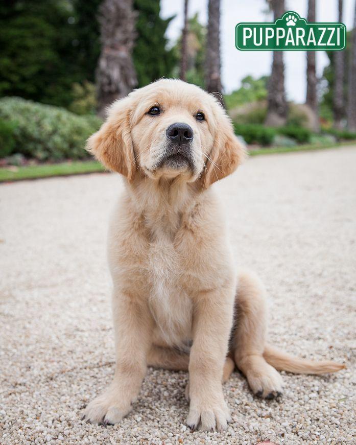Pin By Rachel Warren On Golden Retrievers Dogs Labrador Puppy