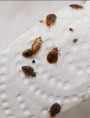 Pin by Trina Jackson on Bed Bugs Treatment 3 Bed bugs