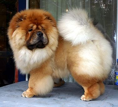 So Beautiful Red With Images Chow Chow Dogs Chow Chow Fluffy