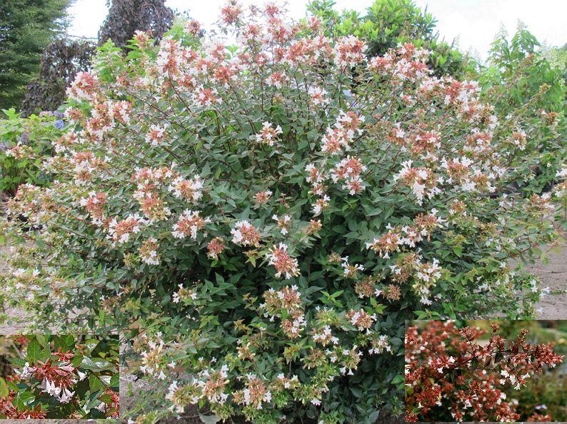 Glossy Abelia Abelia Grandiflora Zone 5 9 Part Full Sun 3 6