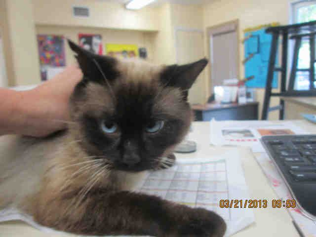 Siamese With The Bluest Eyes At The South Brevard Animal Services In Melbourne Fl Animals Animal Shelter Pets