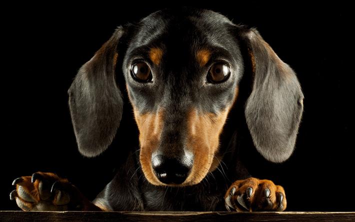 Fondos De Pantalla De Animales Graciosos: Descargar Fondos De Pantalla El Dachshund, Hocico, Perros