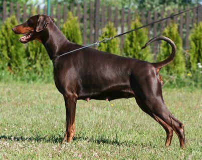 Italia vom Gerdautal Welpen, Haustiere, Hunde