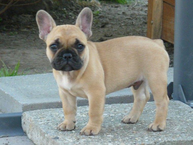 Beautiful Red Kc Reg French Bulldog Puppy French Bulldog