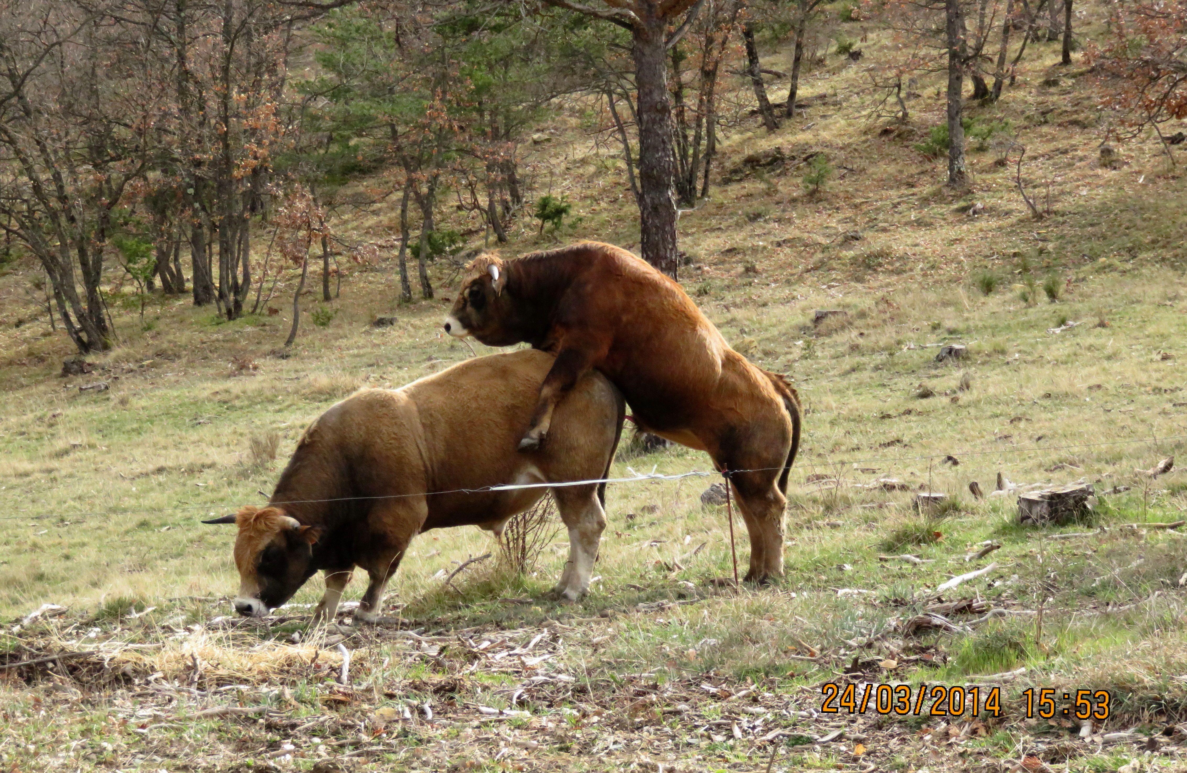 Ou les vaches Provence Peyruis Provence
