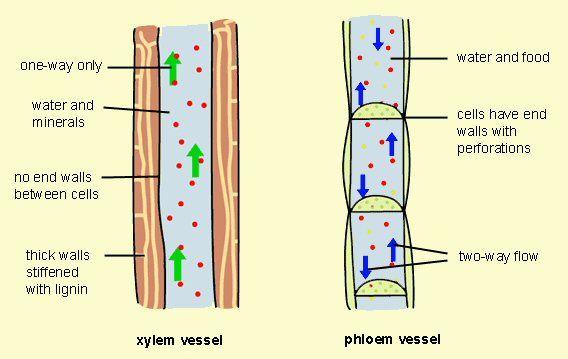 xylem and phloem diagrams the vascular system of a plant botany Phloem Sugar Movement Diagram