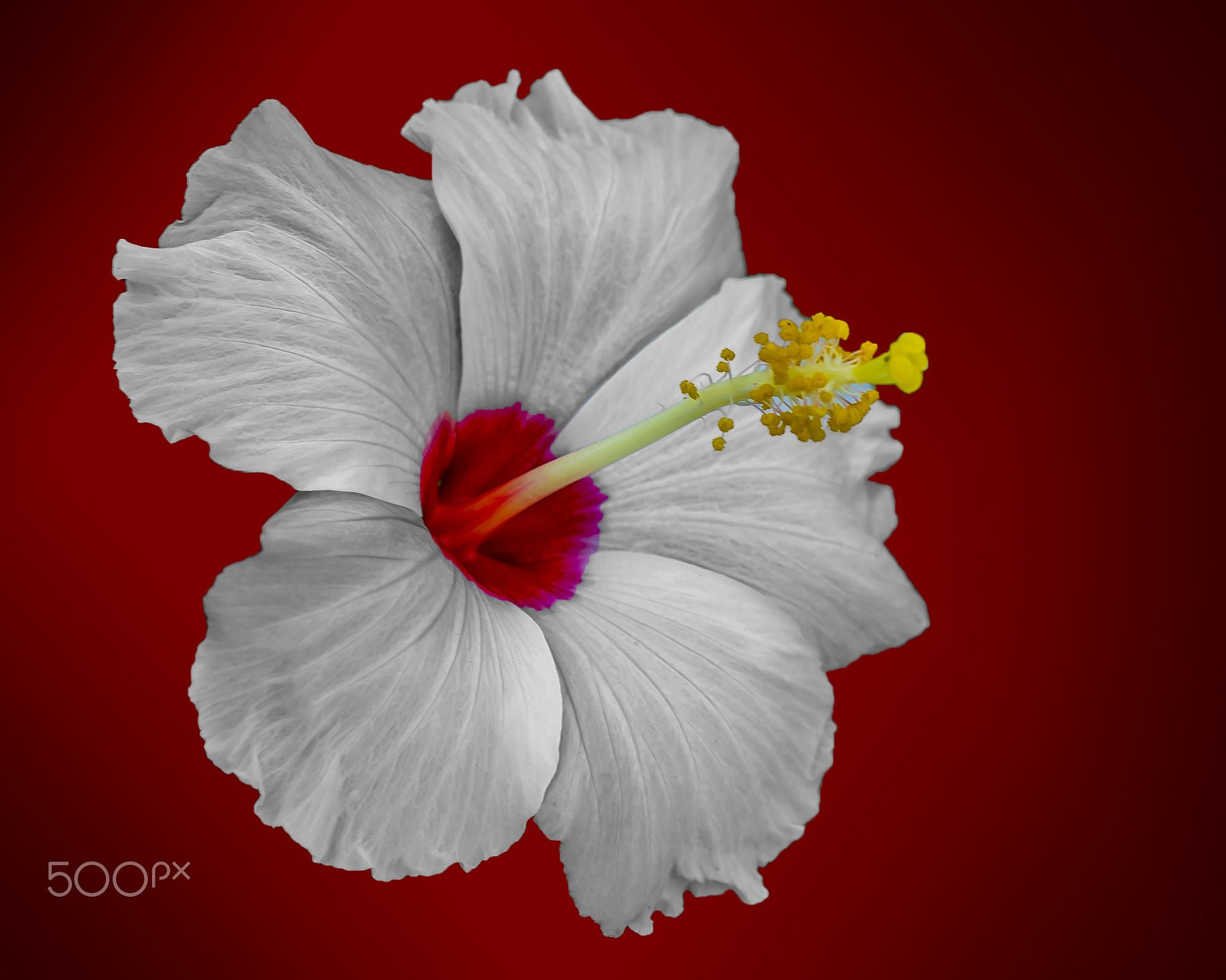 White Hibiscus On A Red Background