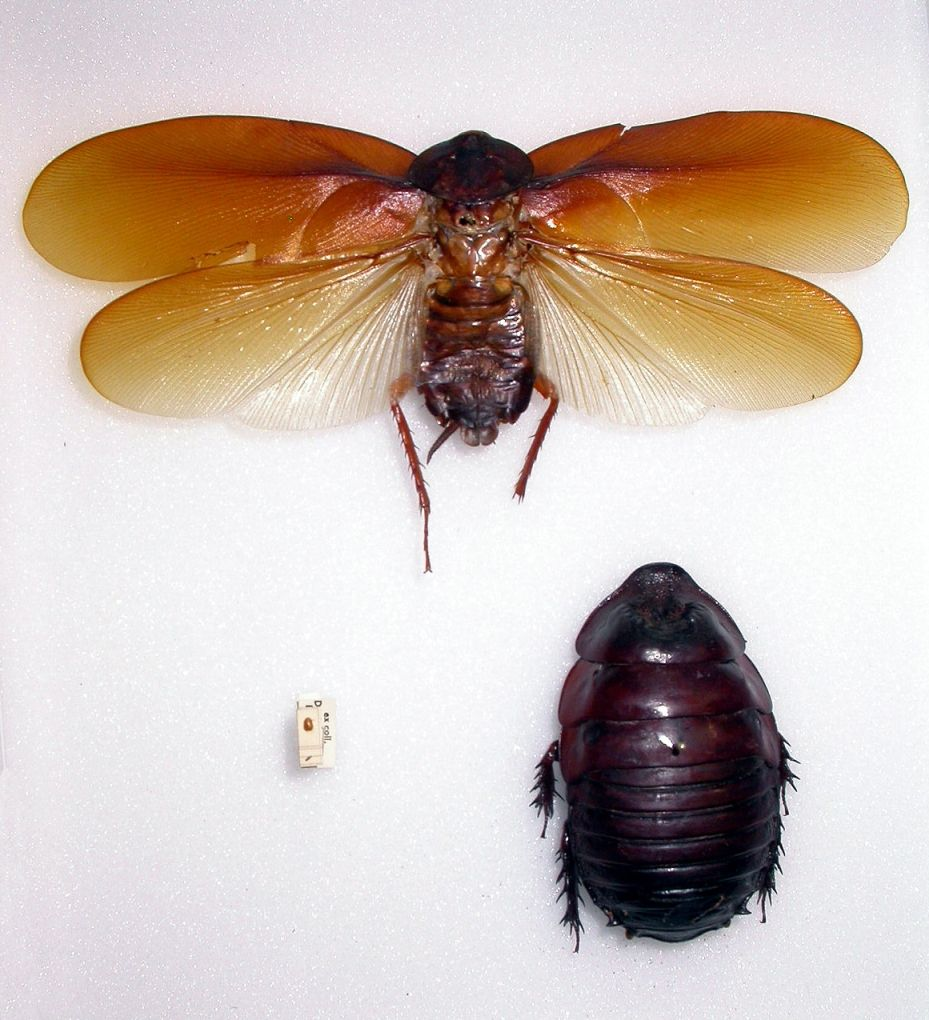 Cockroaches largest and smallest. Copyright Natural History Museum ...