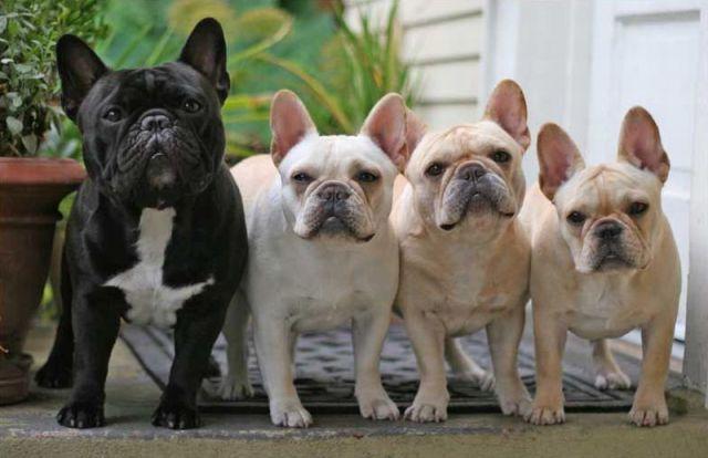 Puppies French Bulldog French Bulldog Puppies Bulldog