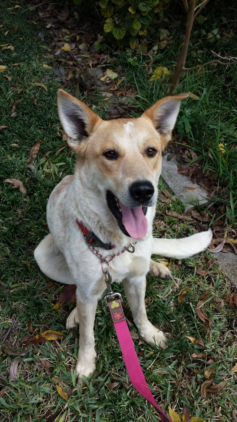 Adopt Savannah on Pets, Australian cattle dog