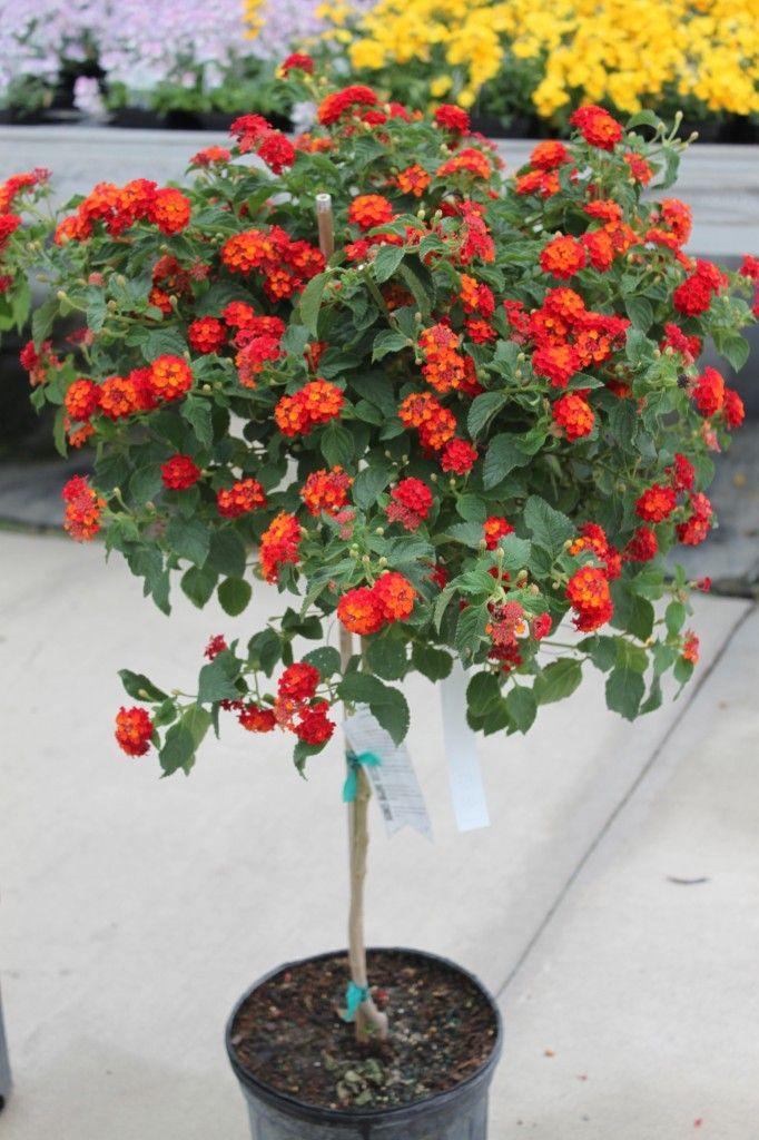 Lantana Tree Potted Plants Patio Lantana Tree Flower Pots
