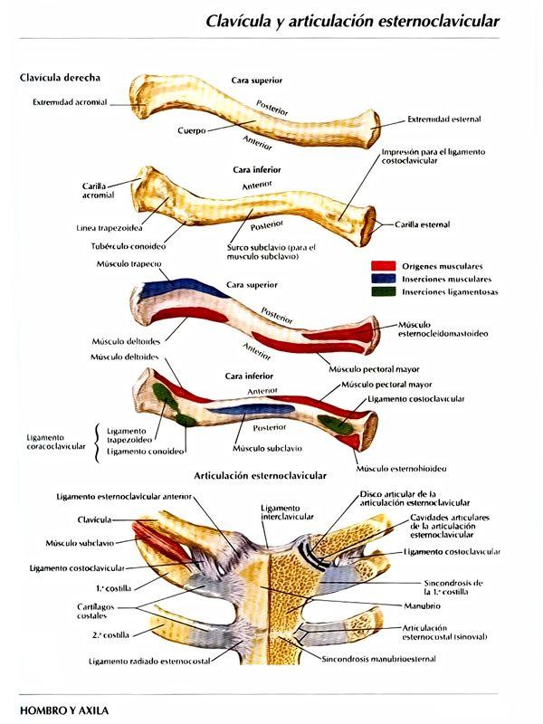 Clavícula, articulaciones, inserciones y + | Anatomía | Pinterest ...