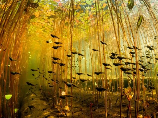 tadpoles swimming through a jungle of lily stalks in Cedar Lake on Vancouver Island, Canada by Eiko Jones.