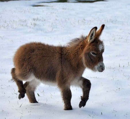 Donkey In The Snow Awwww Long Eared Equines
