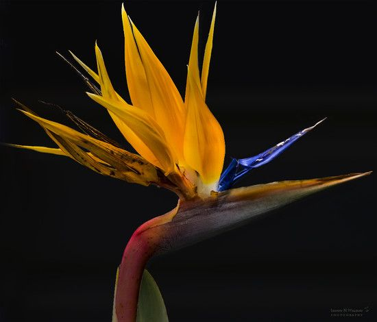 Bird of Paradise by leanne333