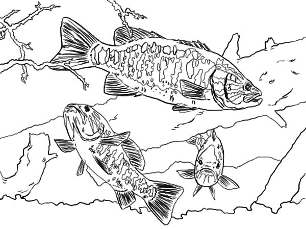 Smallmouth Bass Fish Coloring Pages Best Place To Color Fish Coloring Page Coloring Pages Coloring Pages To Print