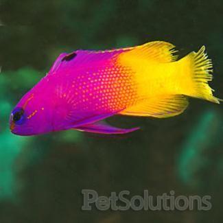 Royal Gramma Basslets For Saltwater Aquariums Petsolutions Animaux Aquatiques Animaux Beaux Poisson Tropical