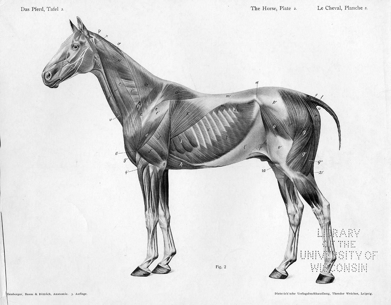 Horse anatomy by Herman Dittrich – full body musculature | Анатомия ...