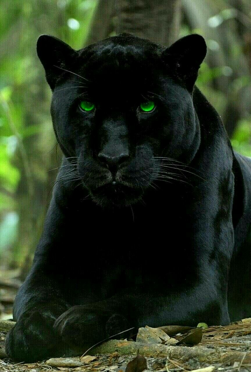 Beautiful Black Panther With Photo Shopped Green Eyes