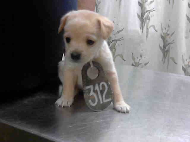 No Longer Listed Texas U Id A396866 Is A Puppy At The Shelter Since 1 7 14 In Need Of A Loving Adopter Dog Adoption Animals Labrador Retriever Mix