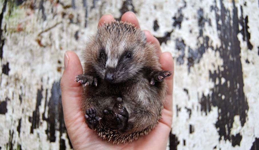 Tiny hedgehog (Anja Mulder)