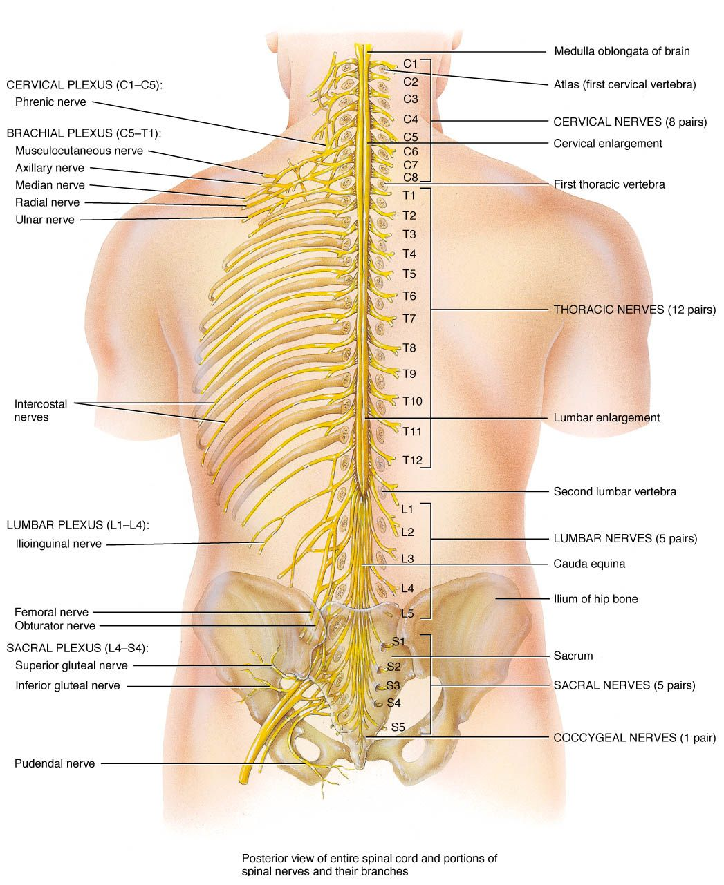 hight resolution of spinal nerves and branches