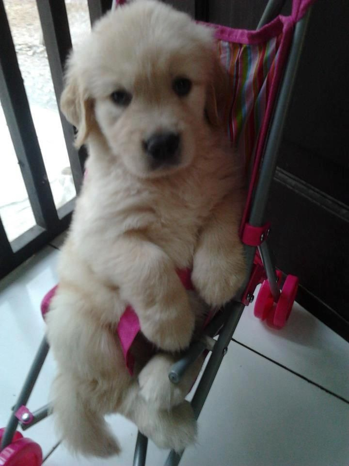 Golden Retriever In A Baby Stroller So Adorable With Images